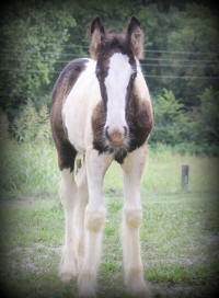 Lexlin's Mystique Dream, 2013 Gypsy Vanner Horse filly