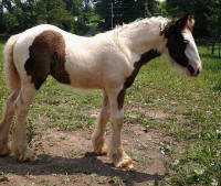 Lexlin's Snow Angel, 2014 Gypsy Vanner Horse filly