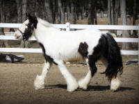 Sugar N Spice of Lexlin, 2009 Gypsy Vanner Horse filly