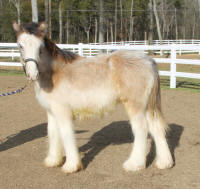 Lexlin's The Attraction, 2012 Gypsy Vanner Horse gelding
