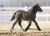 Lexlin's The Dance, 2012 Gypsy Vanner Horse filly