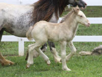 Lexlin's The One, 2013 Gypsy Vanner Horse colt