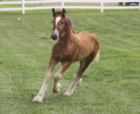 Lexlin's Running from the Law, 2014 Gypsy Vanner Horse colt