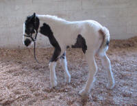 GG All American Girl, 2016 Gypsy Vanner Horse filly