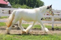 Lexlin's Liberty, 2009 Gypsy Vanner Horse mare