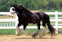 Lightning, 2005 imported Gypsy Vanner Horse mare