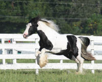 Papuza' Lil King, 2007 Gypsy Vanner Horse stallion