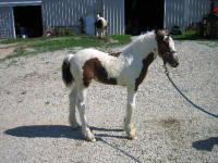 Chantilly Lily, 2006 Gypsy Vanner Horse filly