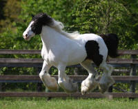 WR Panda's Lilly Rose, 2008 Gypsy Vanner Horse mare