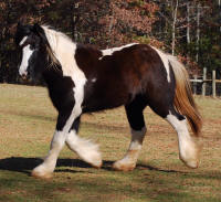 BPF Lion King's Fleur de Lys, 2008 Gypsy Vanner Horse filly