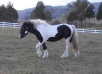 Lily, 2008 imported Gypsy Vanner Horse filly