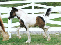 Mount Christie Tiger Lily, 2008 Gypsy Vanner Horse filly