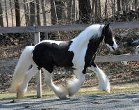 Lion's Luck, 2008 Gypsy Vanner Horse colt