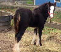 Apple Acre Harlow, 2012 Gypsy Vanner Horse filly