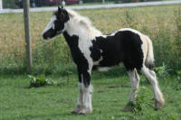 WCF Lola, 2007 Gypsy Vanner Horse filly