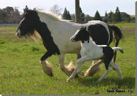 Rock Ranch Loonagh, 2006 Gypsy Vanner Horse filly