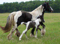 Feathered Gold Farm, 2007 Gypsy Vanner Horse colt