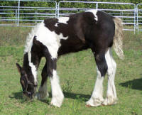 Feathered Gold Lorcan, 2007 Gypsy Vanner Horse colt