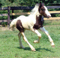 CB Lord Marlborough, Gypsy Vanner Horse colt
