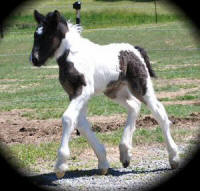 Freeland's Gypsy Lore Prince of Thieves, 2008 Gypsy Vanner Horse colt