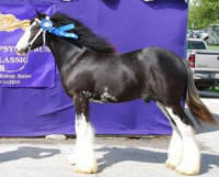Lottery Man, 2007 Gypsy Vanner Horse colt
