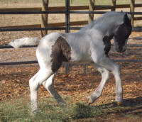 WR Young Latcho Lou, 2009 Gypsy Vanner Horse colt