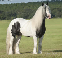 WR Young Latcho Lou, 2009 Gypsy Vanner Horse stallion