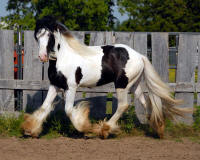 Thorn Hill Timone's Lucky, 2007 Gypsy Vanner Horse colt