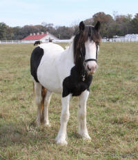 Lucy, 2008 imported Gypsy Vanner Horse filly