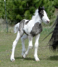 Feathered Gold Luminosity, Gypsy Vanner Horse filly