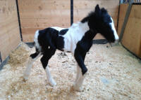 Kastle Rock's One In A Million, 2014 Gypsy Vanner Horse filly