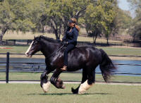 Lyla, 2004 Gypsy Vanner Horse mare