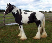 Magnum, 2002 imported Gypsy Vanner Horse stallion