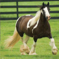 Mariah, imported Gypsy Vanner Horse mare