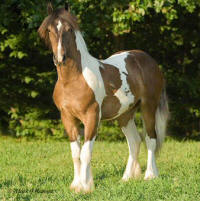 EBV Two Buck Chuck, 2006 Gypsy Vanner Horse colt