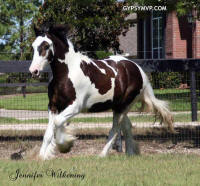 Eastwood Kid, 2010 Gypsy Vanner Horse colt