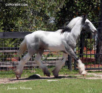 MVP's Outlaw, 2011 Gypsy Vanner Horse colt
