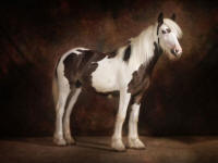 KD's Made To Order, 2007 Gypsy Vanner Horse filly