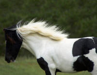 Freeland's Madison, 2006 Gypsy Vanner Horse filly