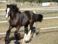 Midnite Princess, 2008 Gypsy Vanner Horse filly
