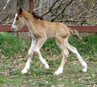Feathered Gold Mahogany Night, 2016 Gypsy Vanner Horse colt