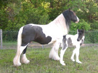 Jeanie, imported Gypsy Vanner Horse mare