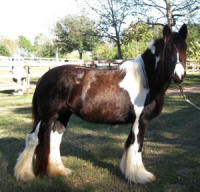 Magic, imported Gypsy Vanner Horse mare