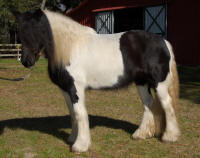 Grey Ghost Magic, 2005 Gypsy Vanner Horse mare
