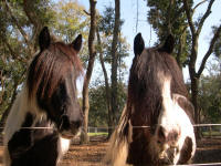 Grey Ghost Magic, 2004 Gypsy Vanner Horse mare