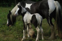 Magical, 2009 Gypsy Vanner Horse filly