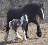 Stonehave Maizy, Gypsy Vanner Horse mare
