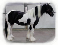 Her Majesty, 2001 imported Gypsy Vanner Horse mare