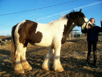 Warrior Princess, 2004 imported Gypsy Vanner Horse mare