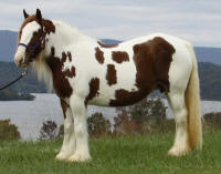 Margarita, 2003 imported Gypsy Vanner Horse mare